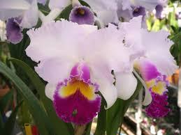 Blc Mishima Monarch Blumen Insel - T3