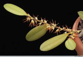 Bulbophyllum Sessile - AD