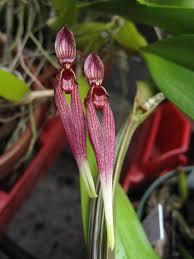 Bulbophyllum Biflorum Red