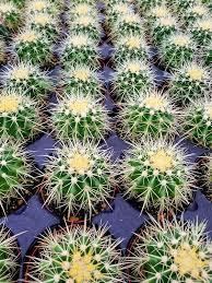 Echinocactus Gusonii Pt 10