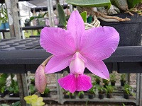 Cattleya Walkeriana Itapeti - AD