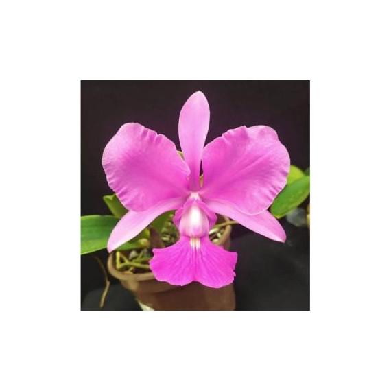 Cattleya Walkeriana Adulta Enraizada na Jangadinha !