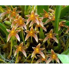 Bulbophyllum Affine - Na Plaquinha