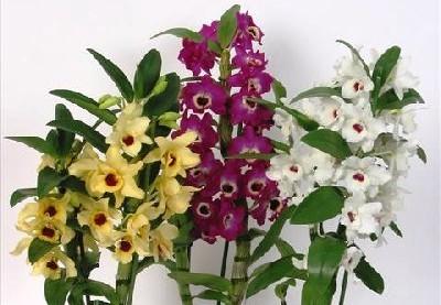 KIT Dendrobium Nobile