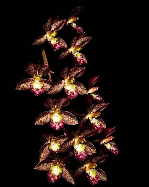 Catasetum Osculatum - AD