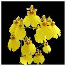 Oncidium Sweet Sugar (Haste Floral)