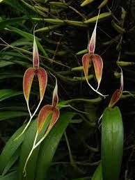 Bulbophyllum Blumei - AD