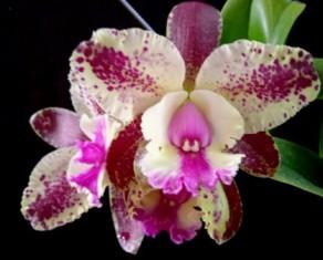 Cattleya Akimi Haneda (Botao Floral)