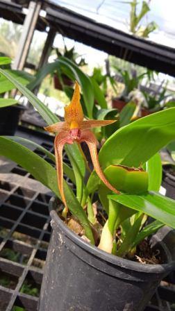 Bulbophyllum Echinolabium x Smitinandii - AD