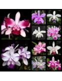 Cattleya Intermedia ( Em Floração)