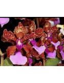 Oncidium Lanceanum - T3