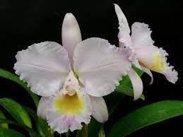 Cattleya Trianae Concolor - AD