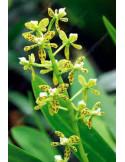 Encyclia Vespa (Haste Floral)