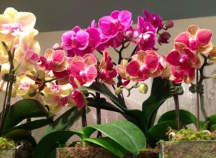 Mini Phalaenopsis (Haste Floral)