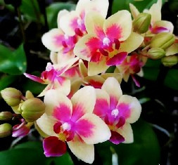 Doritaenopsis Sogo Gotris (Em Floração)