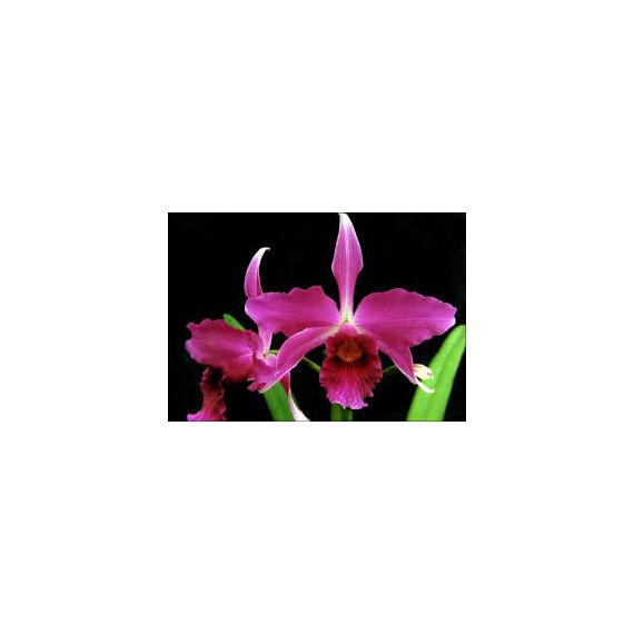 Laelia Purpurata Sanguinea (Araranguá x Vudu)- AD