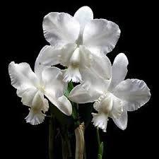 Cattleya Dolosa Alba x Self - NBS