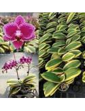 Phalaenopsis Chia Yelin - AD