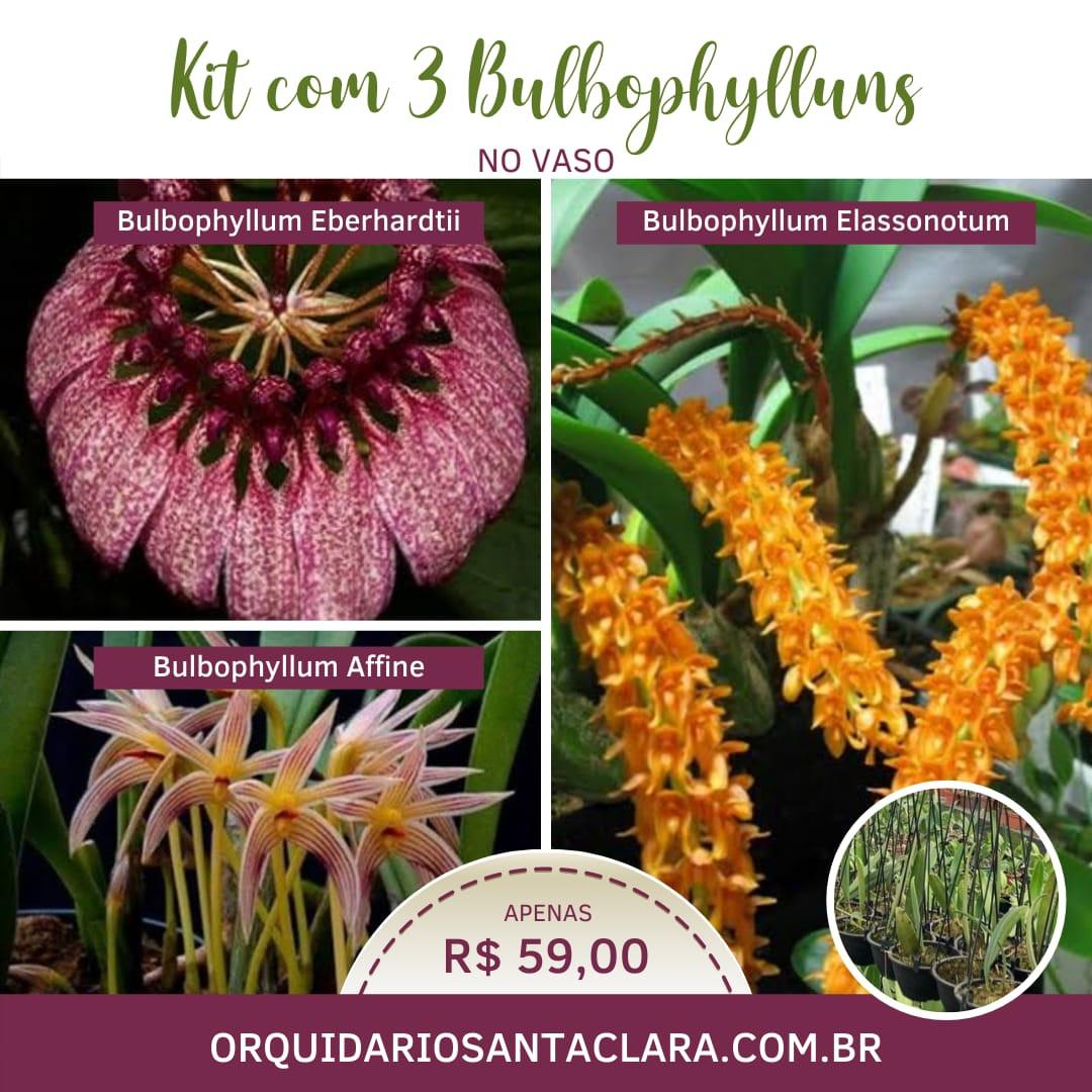 Kit c/ 3 Bulbophylluns na cuia (AD)