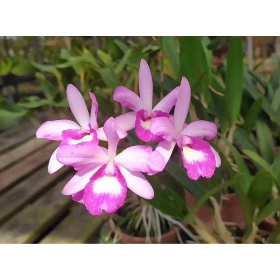 Ctna. Capri x L. Rubescens - AD
