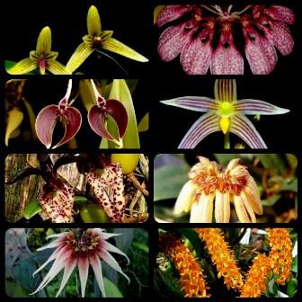 Bulbophyllum (8 a 10 bulbos)