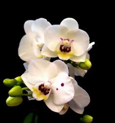 Mini Phalaenopsis Allura AJ 007 (Haste Floral)