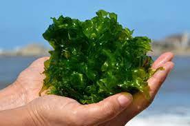 Fertilizante Algas Marinhas Concentrado - 100 ml
