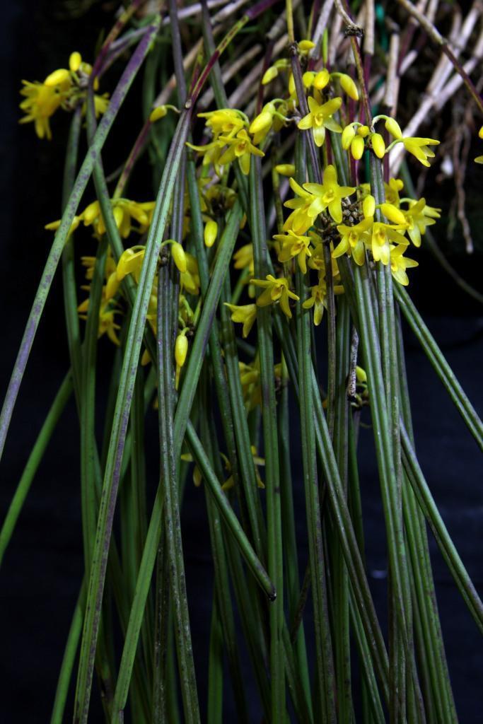 Octomeria Juncifolia - AD