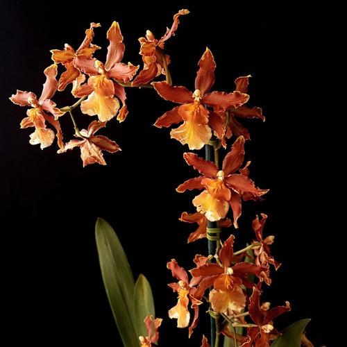 Odontocidium Catatante (Haste Floral)