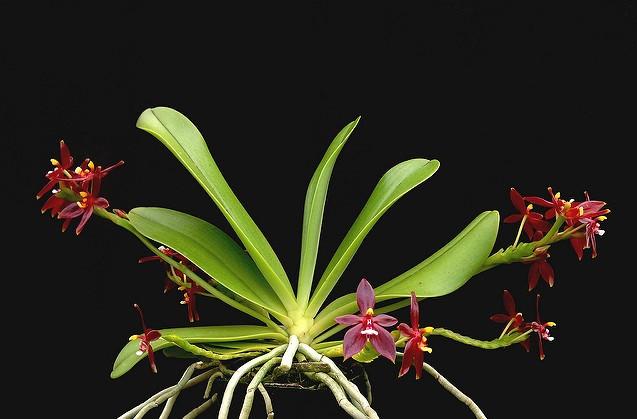 Phalaenopsis Cornu Cervi var. Red - AD