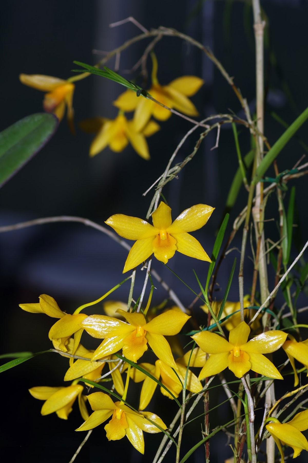 Dendrobium Hancokii - AD