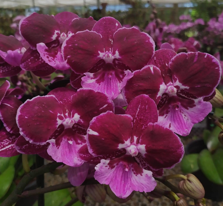 Doritaenopsis Hot Kiss - AD